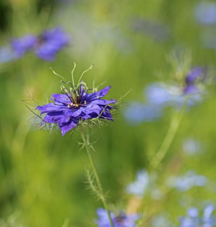okänd blå blomma