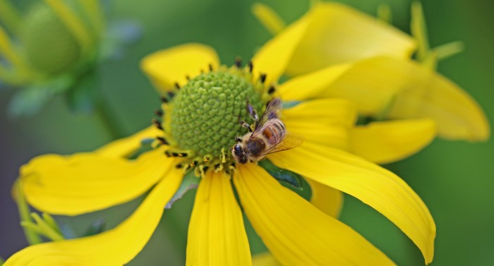 rudbeckia med bi