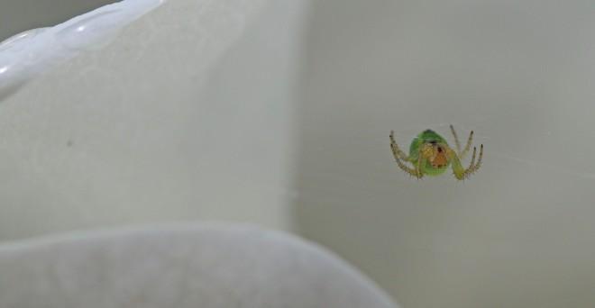 spindel i jättemagnoliablad