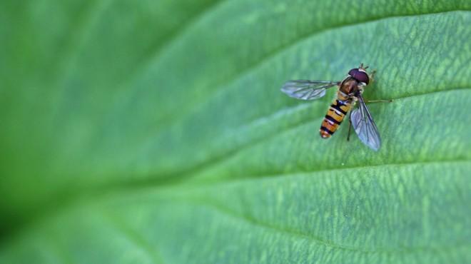 blomfluga på hostablad