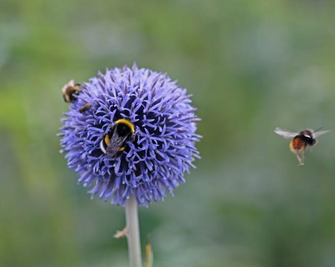blommande bolltistel med insekter