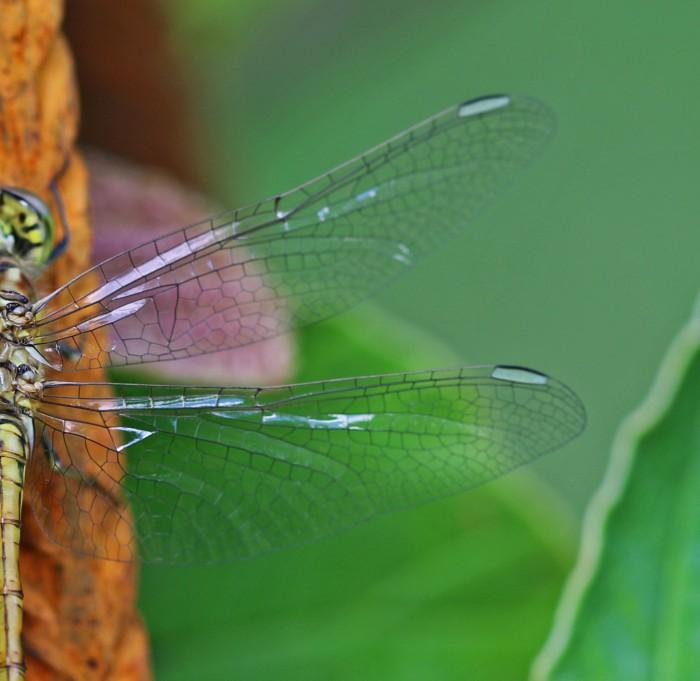 trollsländevingar