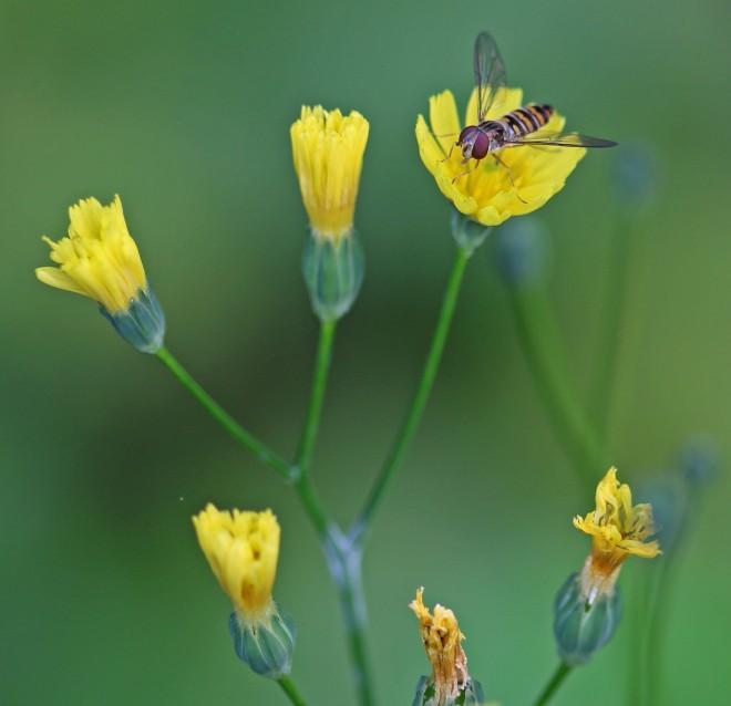 blomfluga på fibbla