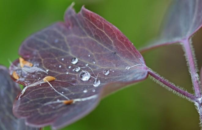 droppar på aklejablad