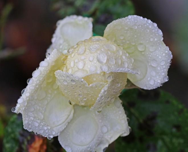 sista rosen