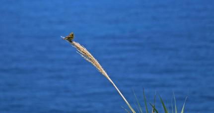 kanariefågel m 1