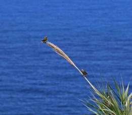 kanariefågel m 2
