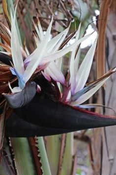 paradisfågel 2