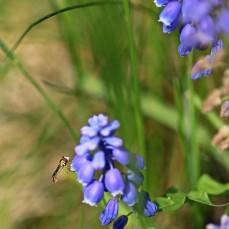 blomfuga-pa-parlhyacint