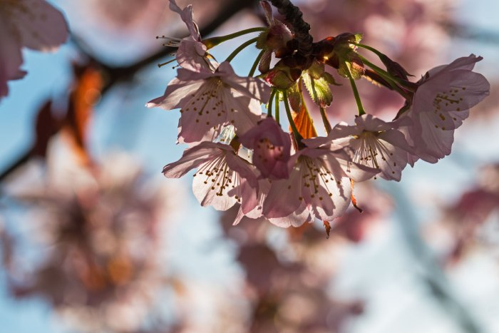 0515 Körsbärsblommor