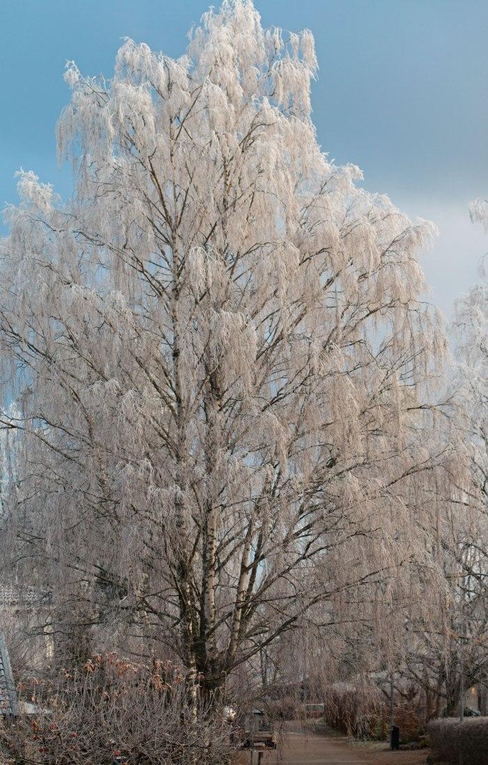 frosty morning 1